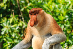 Male Proboscis Monkey in the mangroves Stock Photos