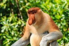 Male Proboscis Monkey in the mangroves. Proboscis Monkey in the Mangroves of Borneo stock photos