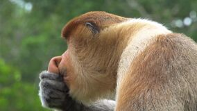 Male Proboscis Monkey Nasalis larvatus Scratching Nose. Endangered Endemic Borneo Animal. Male Proboscis Monkey Nasalis larvatus Scratching Nose shot with a Sony stock video