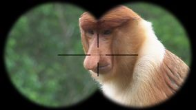 Male Proboscis Monkey Nasalis Larvatus Seen through Binoculars. Watching Animals at Wildlife Safari. Shot with a Sony a6300 fps 29,97 4k stock video footage