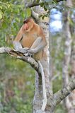 Male Proboscis monkey Nasalis larvatus Stock Photo