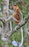 Male of Proboscis Monkey sitting on a tree in the wild green rainforest on Borneo Island. Stock Photography