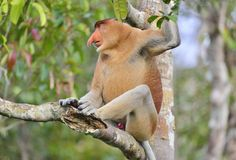 Male of Proboscis Monkey sitting on a tree in the wild green rainforest on Borneo Island. Stock Photo