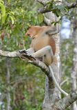 Male of Proboscis Monkey sitting on a tree in the wild green rainforest on Borneo Island. Stock Images