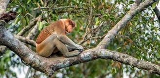 Male of Proboscis Monkey Stock Photography