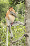 Male Proboscis monkey in a tree. Royalty Free Stock Images