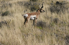 Male pronghorn Stock Photography