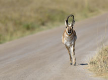 Male Pronghorn charges down a dirt path Stock Photos