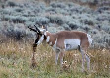 Male Pronghorn in Grasslands. A male pronghorn antelope in sage grassland Stock Photography