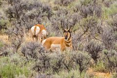 Male Pronghorn Sheep on the High Plains. Of Wyoming standing in sage brush royalty free stock photography