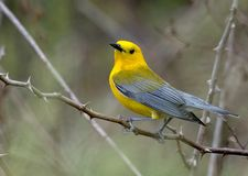 Male Prothonotary Warbler bird. A Male Prothonotary Warbler during the spring migration in Pennsylvania in May 2018 Stock Photo