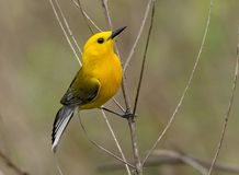 Male Prothonotary Warbler bird. A Male Prothonotary Warbler during the spring migration in Pennsylvania in May 2018 Stock Image