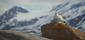Male ptarmigan on horizon standing on boulder Royalty Free Stock Images
