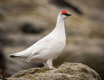 Male Ptarmigan-Iceland stock photos