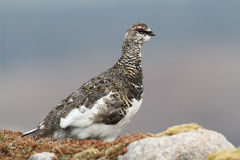 A male Ptarmigan Lagopus mutus in the Cairngorm mountains. Stock Images