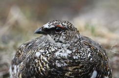 A male Ptarmigan Lagopus mutus in the Cairngorm mountains. Stock Image