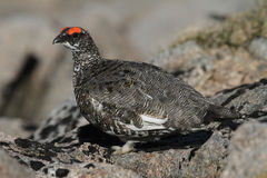 A male Ptarmigan Lagopus mutus in the Cairngorm mountains. Royalty Free Stock Images