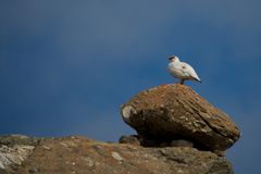 Male ptarmigan on ridge standing on boulder Stock Image