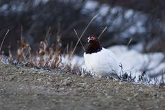 Male ptarmigan warming Stock Photography