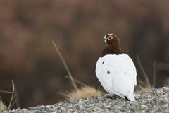 Male ptarmigan on watch Royalty Free Stock Photo
