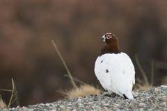 Male ptarmigan on watch. Male ptarmigan watching around. Spring time, Denali national park, ALaska Royalty Free Stock Photo