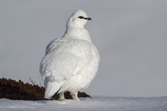 The male ptarmigan which stands in the snow Royalty Free Stock Photos