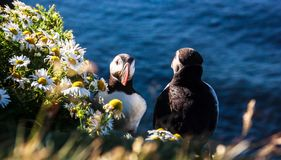 Male Puffin standing next to flower bushes in front of female puffin, as if he buys flowers for her. Idea for wedding proposal Royalty Free Stock Photography