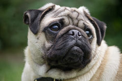 Male Pug dog breed Royalty Free Stock Photos