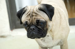 Male Pug with Expressive Face Stock Image