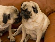 Male Pug and Girl Pug Stock Images