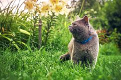 Male purebred cat in the summer garden in the evening. Male purebred cat wearing a blue collar hunting in the summer garden in the evening Royalty Free Stock Images