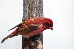 Male Purple finch on tree Stock Image