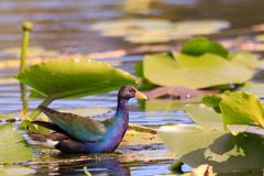 Male Purple Gallinule. A male Purple Gallinule hopping from lilypad to lillypad trying to catch its dinner at the Everglades National Park located in Florida Royalty Free Stock Photo