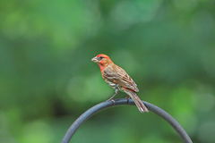 Male Finch Royalty Free Stock Photo