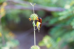 Male Purple Rumped sunbird. Stock Photography