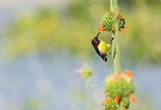 Male Purple Rumped sunbird. Royalty Free Stock Photos