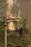 Male purple sunbird hovers under garden tap Royalty Free Stock Photography