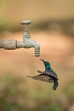 Male purple sunbird hovers under outdoor tap Royalty Free Stock Images