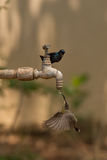 Male purple sunbird watches female under tap Royalty Free Stock Images