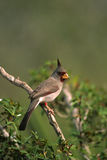 Male Pyrrhuloxia Royalty Free Stock Photo