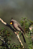 Male Pyrrhuloxia on branch Stock Image
