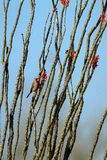 Male Pyrrhuloxia perches in a flowering Ocotillo in spring at Organ Pipe Cactus National Monument in southern Arizona. A male Pyrrhuloxia feeds at dawn on a Royalty Free Stock Photos