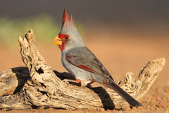 Male Pyrrhuloxia - Texas. Male Pyrrhuloxias (Cardinalis sinuatus) - Texas Royalty Free Stock Images