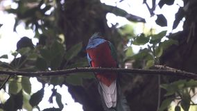 Male quetzal bird over tree branch stock video footage