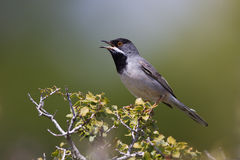 Male Rüppell`s warbler (Sylvia rueppelli) Royalty Free Stock Photography