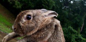 Male rabbit. royalty free stock photo