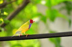 Male Rainbow Finch bird, Florida Royalty Free Stock Image