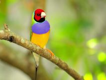 Male Rainbow Finch bird perched on branch, Florida Stock Photography