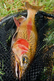 Male rainbow trout golden colored. Male rainbow caought on a channel during one summer trip on a fly stock photography
