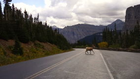 Male Ram Bighorn Sheep Crossing Road Wild Animal Montana Wildlife stock video footage